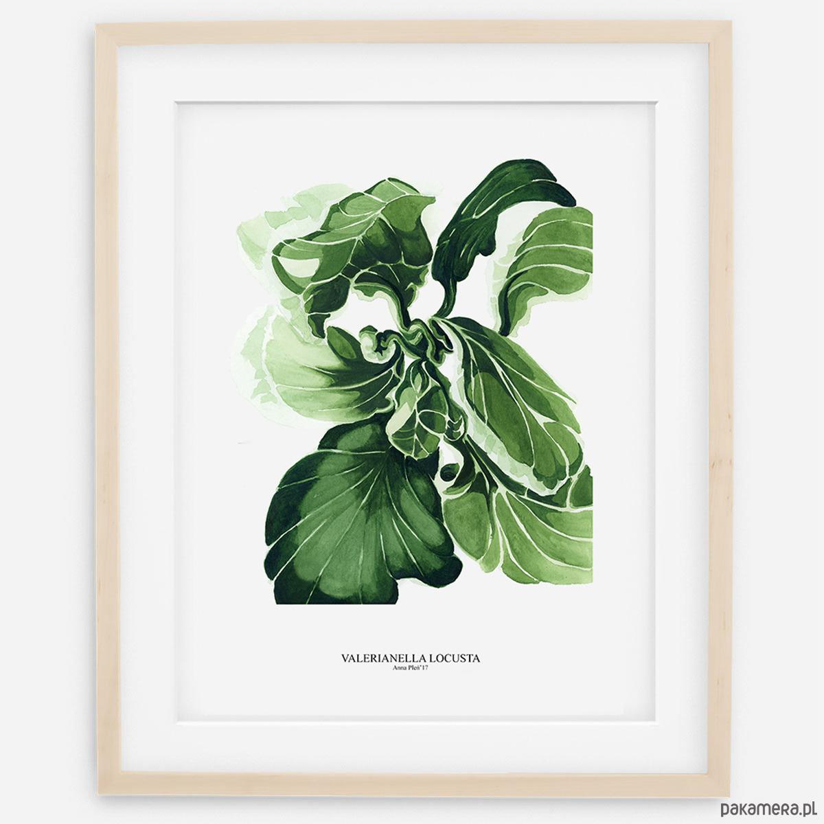 Plakat Botaniczny Sałata Skłębiona Pakamerapl