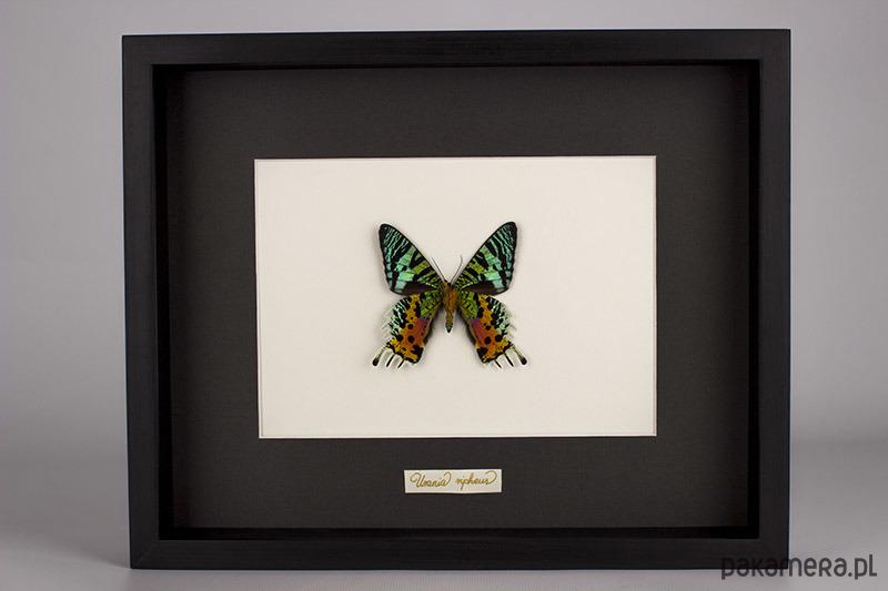 Motyl Urania ripheus w czarnej gablocie
