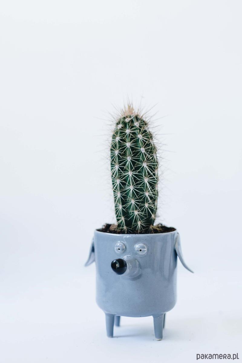 Kaktus Stetsonia Pakamerapl