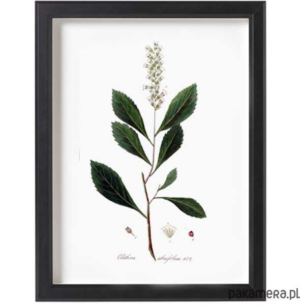 Obraz W Ramce Zielnik A3 Ilustracja Botaniczna Pakamerapl