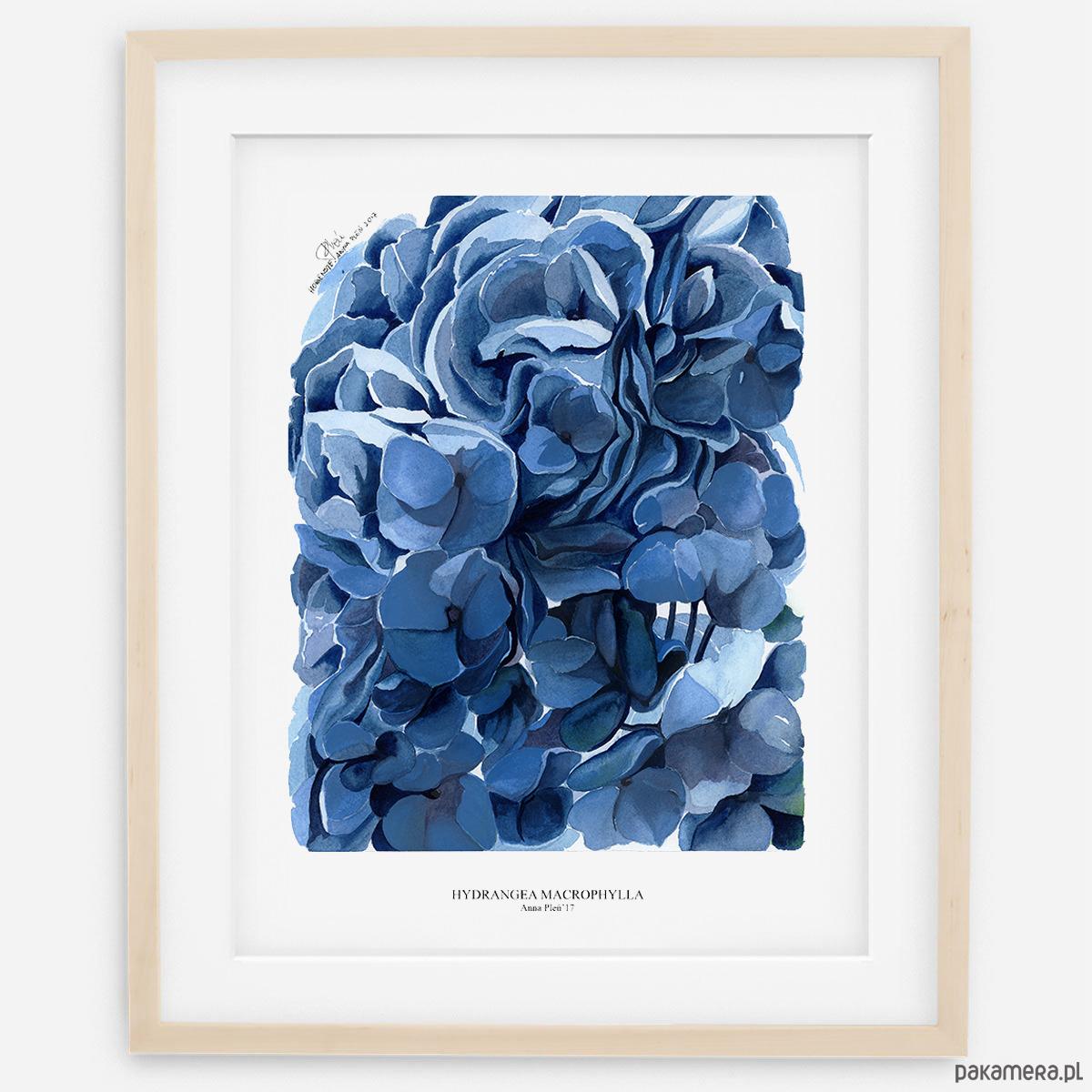 Plakat Botaniczny Hortensje Błękitne Pakamerapl