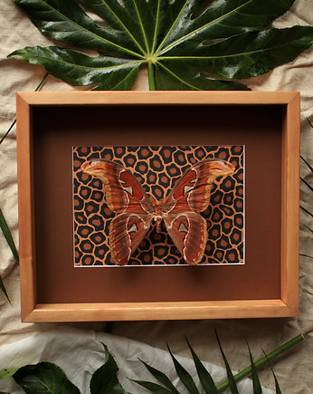 Creative Farm, Motyl Attacus atlas Exotic